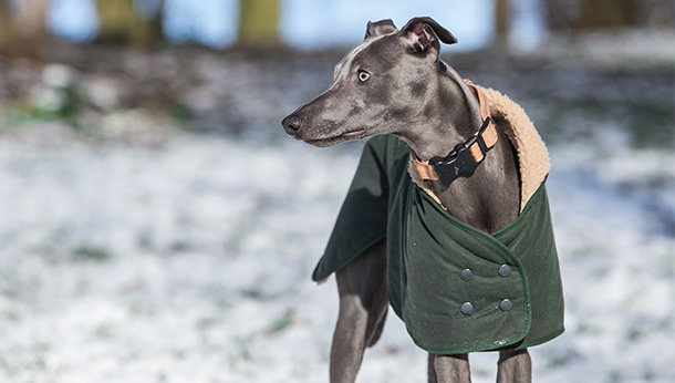 whippet in winter coat