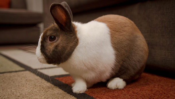 brown and white rabbit on rug