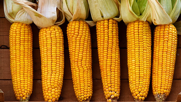 row of corns on the cob