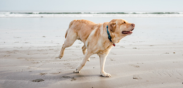 labrador running on beach