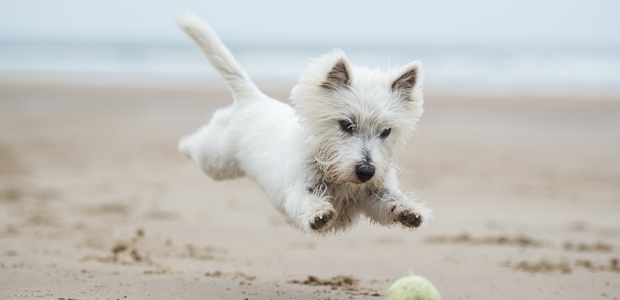 white west highland terrier chasing ball on beach