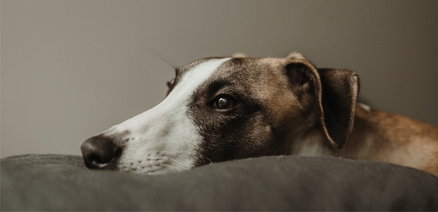 whippet laying on a sofa