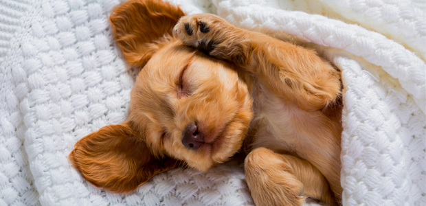 cute brown puppy sleeping on white blanket