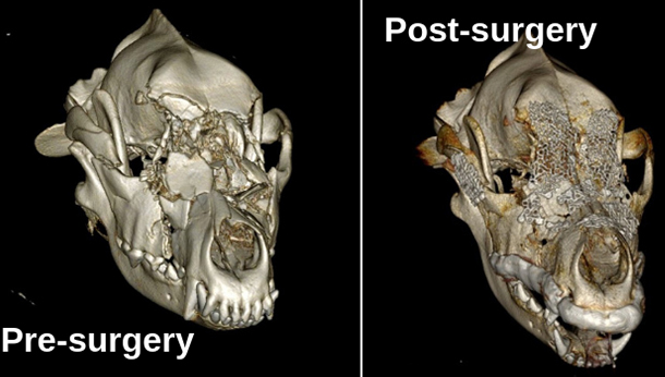 An image of Bella's skull before and after surgery.
